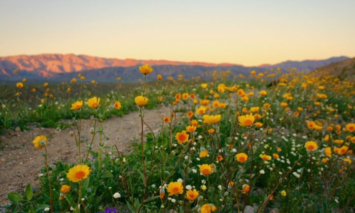 Wildflowers dot the Palm Springs landscape outside of town. (Visit Greater Palm Springs)