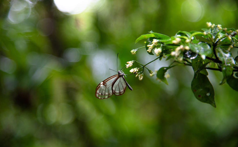 Glasswing,Butterfly,Greta,Oto,Brush,Footed,Transparent,Butterfly,Sitting,On