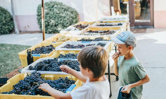 Children taste grapes that will become wine at Castoro Cellars in Templeton, Calif. (Courtesy of Margot Black)