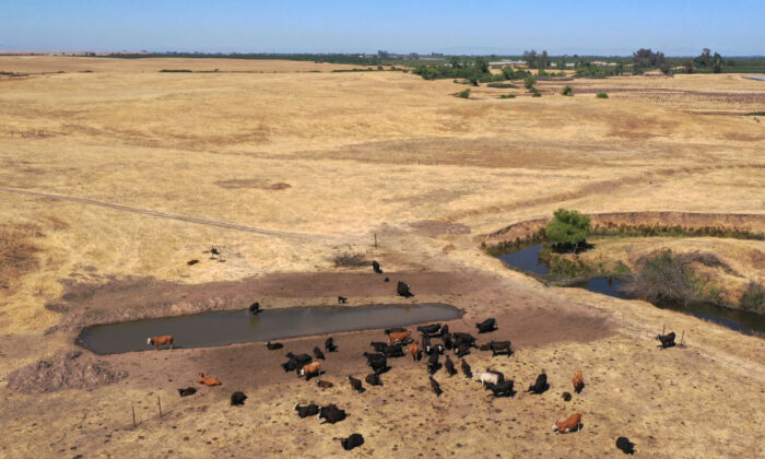 In an aerial view, cattle gather around a pond on a ranch in Snelling, Calif., on May 26, 2021. (Justin Sullivan/Getty Images)