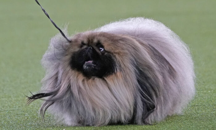 """Pekingese """"Wasabi"""" walks with its handler in the Best in Show at the Westminster Kennel Club dog show in Tarrytown, N.Y., on June 13, 2021. (Kathy Willens/AP Photo)"""