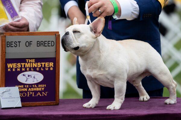 Mathew, a French bulldog, wins the top prize