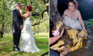 Bride Leaves Wedding Reception to Help Her Cow Deliver a Calf While Still Clad in Her Gown
