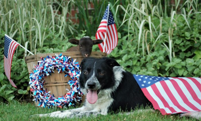Jack the border collie, and Jill the lamb enjoying July 4th at home. (Denise Rackley)