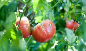 Vegetable Garden Troubleshooting