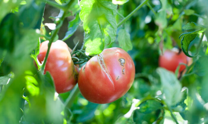 Cracks appear in tomatoes and other garden vegetables when drastic changes in temperature and moisture occur. (Miyuki Satake/Shutterstock)