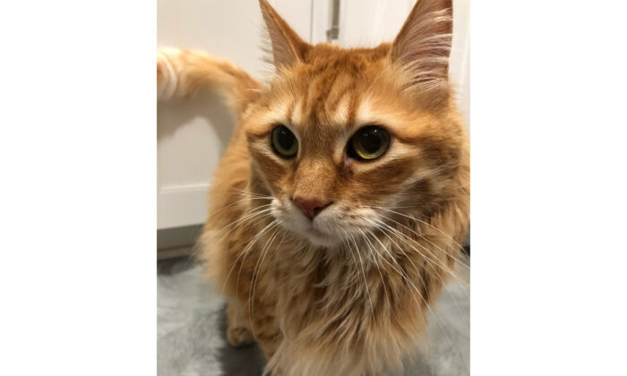 An Irvine, Calif., family said their cat, Sam, died in transit during a flight from Los Angeles International Airport and Jordan. (Taya Salman)
