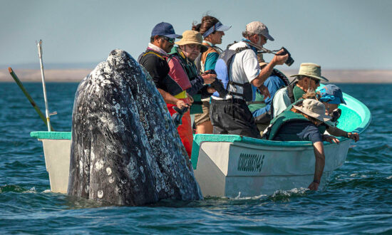 Photos Show Whale Watchers Failing to See Huge Whale Pop Up Right Beside Their Boat in Baja