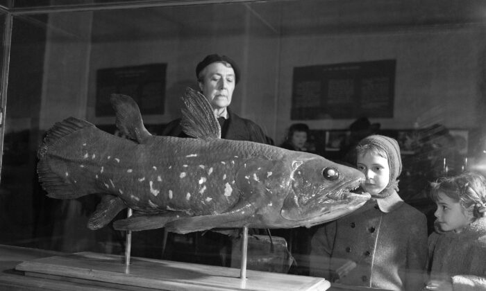 Visitors look at a coelacanth exhibit at the Natural History Museum in Paris, France, on March 21, 1954. (Pierre Godot/AP Photo)