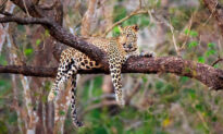 Photographer Snaps Stunning Pictures of Famed Leopard in India Hanging Out Lazily in a Tree