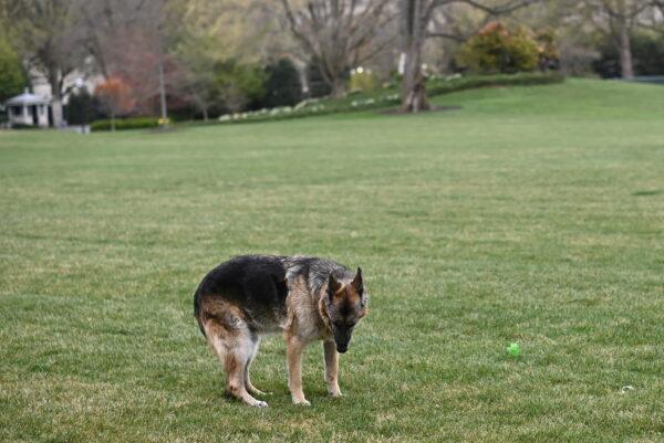 biden-dog-Champ