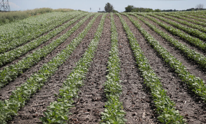 Soybeans grow in a field in Dwight, Illinois on June 13, 2018. (Scott Olson/Getty Images)