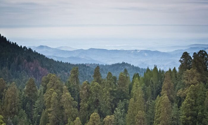 A picture taken March 9, 2014 shows Giant Sequoia trees at the Giant Forest at Sequoia National Park in California. Five of the ten most massive trees on the planet are located within the Giant Forest.  (Mladen Antonov/AFP via Getty Images)