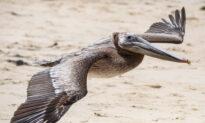 Pair of Injured Pelicans Returned to Wild