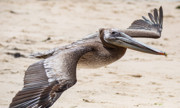 Pelicans are released back into the wild at Crystal Cove State Park in Newport Beach, Calif., on June 22, 2021. (John Fredricks/The Epoch Times)