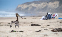 Reward Offered to Solve Mystery of Violent Pelican Attacks