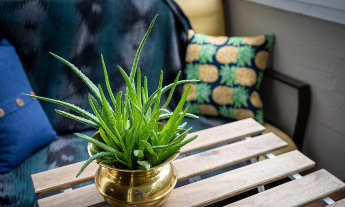 Aloe Vera is a very forgiving plant, requires little water, just plenty of sunlight and it has myriad uses both topical and ingested.  Alexandra Tran/Unsplash)