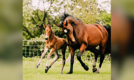 Mare Who Delivered Stillborn Baby Fosters Sickly Orphaned Foal as Her Own: 'So Proud'