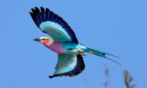 The Lilac-Breasted Roller's Pastel Plumage Makes This Gorgeous Bird a Joy to Behold