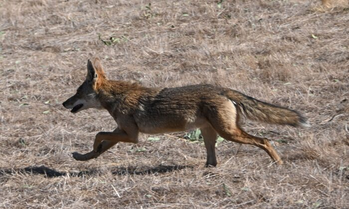 A coyote runs from a wildfire in Chino, Calif., on Oct. 27, 2020.  (Robyn Beck/AFP via Getty Images)