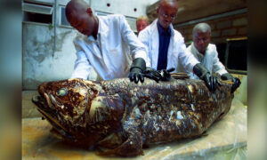 'Living Fossil' Fish the Coelacanth Can Live for Up to a Century—New Study Discovers