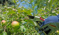When and How to Thin Fruit Trees
