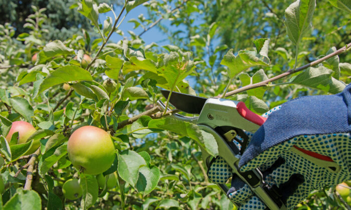 Thinning your fruit trees early can help stop them from going into alternate bearing. (M. Schuppich/Shutterstock)