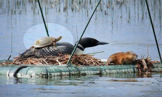 Photographer Captures Amazing Picture of a Turtle Piggybacking a Loon on Minnesota Lake