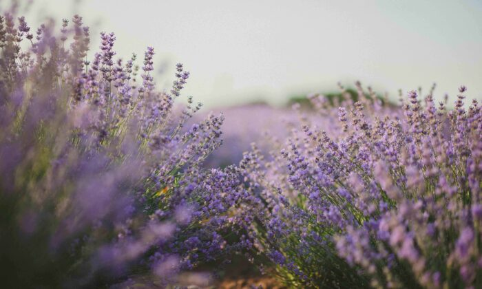 Lilac bushes and shrubbery thrive in the heat.(Natalie/Pexels)