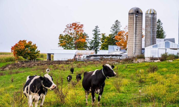 The Von Ruden's Organic Dairy Farm cows are seen grazing in Westby, Wisconsin, on Oct. 3, 2020. (Kerem Yucel/AFP via Getty Images)