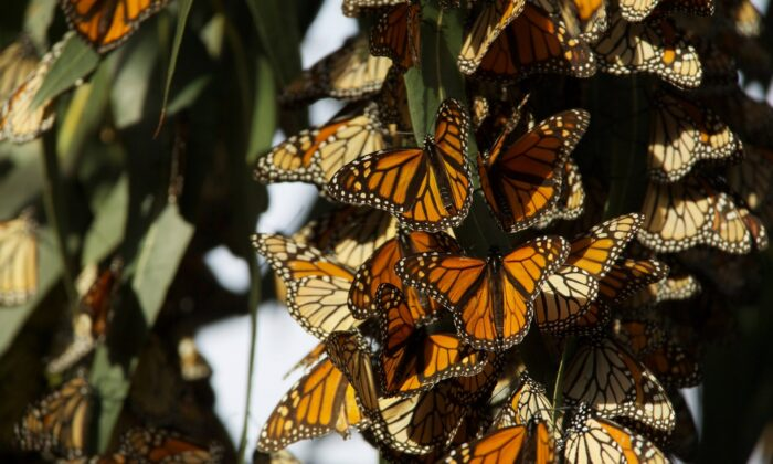 Monarch butterflies need habitats that include milkweeds and nectar plants in order to survive. (Public Domain)
