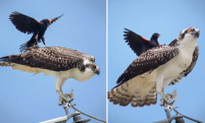 Photographer Spots Little Black Bird Trying to 'Surf' on Osprey Just Trying to Eat His Lunch in Peace