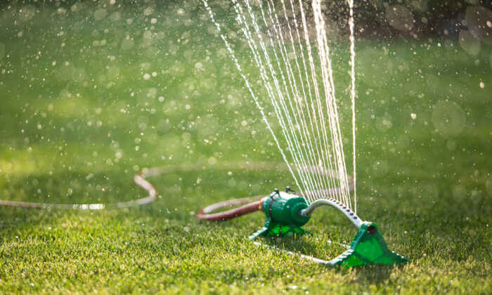 Watering is required to keep a lawn healthy and free from risk of serious pest or disease problems. (PEPPERSMINT/Shutterstock)