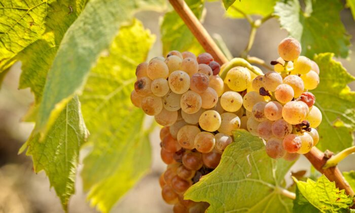 Best planted in cool or cold regions, riesling is a challenger for the title of World's Greatest Wine Grape. (PhotoIris2021/Shutterstock)