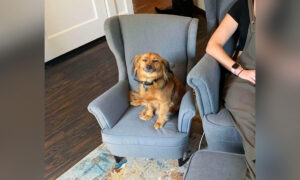 Clingy Dog That Loves 'Stealing' Owner's Work Seat Gets a New Replica Armchair