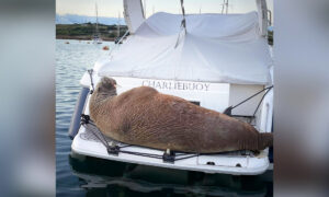 Arctic Walrus Spends 2 Days Hanging Out on Boats in English Island Harbor, Gets Mixed Reactions