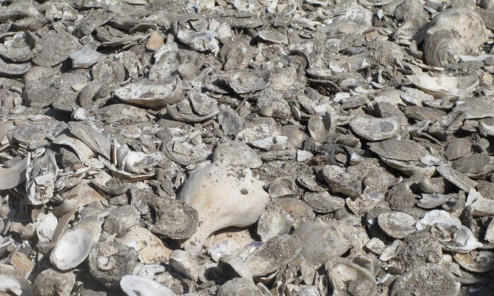 A pile of oyster, clam, and whelk shells drying in the sun in Port Republic, N.J. The shells are collected from restaurants in Atlantic City, dried, and placed into the Mullica River, where they become the foundation for new oyster colonies as free-floating baby oysters attach to them and start to grow.  (AP Photo/Wayne Parry)