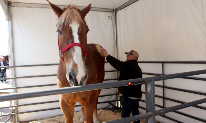 Gilbert brushes Big Jake at the Midwest Horse Fair in Madison, Wisc., on Friday, April 11, 2014. (Carrie Antlfinger, File/AP Photo)