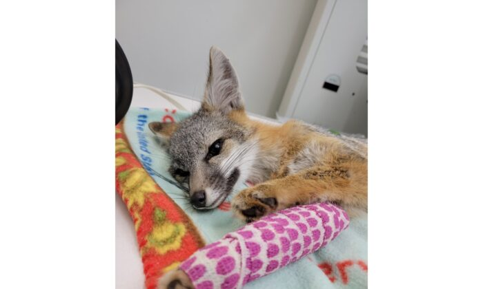 A small gray fox recovers from orthopedic surgery after July 4 fireworks frightened her into the streets and oncoming traffic.  (Courtesy of the Wetlands and Wildlife Care Center)