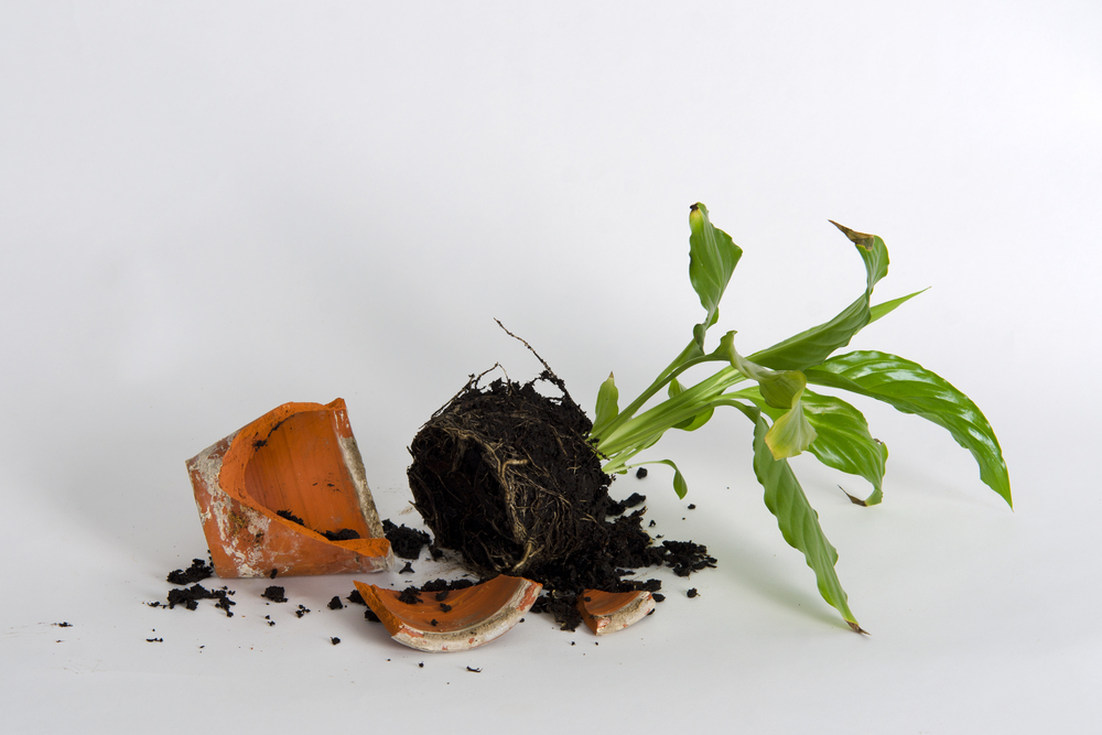 Young,Plant,In,A,Broken,Flower,Pot,Against,White,Background