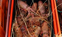 Aussie Lobster 'Grey Trade' Thrives as Smugglers Circumvent Beijing Bans