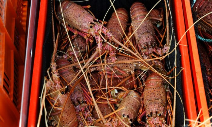 This photo taken on December 10, 2020 shows a basket of live western rock lobsters to be purchased directly from the boat to customers lined up on the wharf, in Fremantle in Fremantle in Western Australia. (Trevor Collens/AFP via Getty Images)