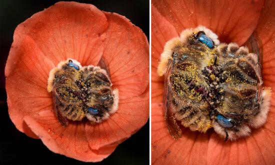 Photographer Captures Stunning Blue-Eyed Bees Sleeping in Orange Arizona Desert Flowers at Night