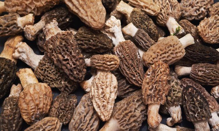 Morels are beloved by chefs—and consumers—for their rarity and unique flavor. (iremt/shutterstock)