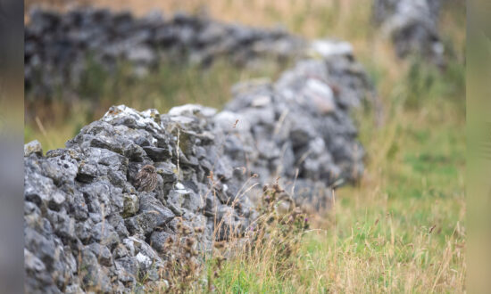 Can You Spot the Owl Perfectly Camouflaged in Its Natural Environment?