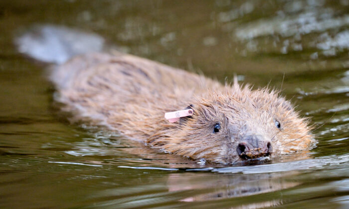 One of an adult pair of Eurasian beavers after being released on the National Trust Holnicote Estate on Exmoor in Somerset, UK, on Jan. 30, 2020. (Ben Birchall/PA)