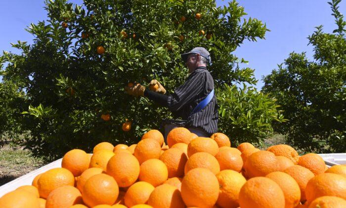 Fruit picker harvests oranges on a farm near Leeton, NSW, Australia, on Oct. 1, 2020. (AAP Image/Lukas Coch)