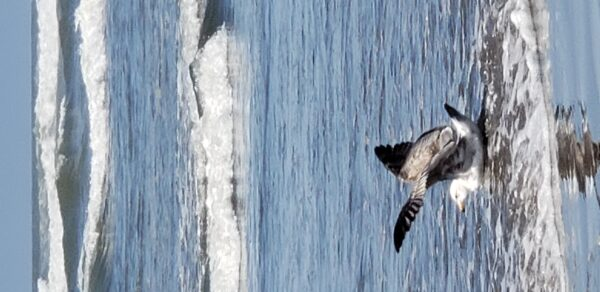 5_Oregon_Sherman_Seaside seagull_2021
