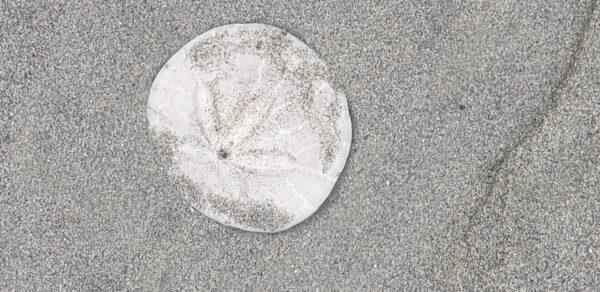 7_Oregon_Sherman_Seaside sanddollar_2021
