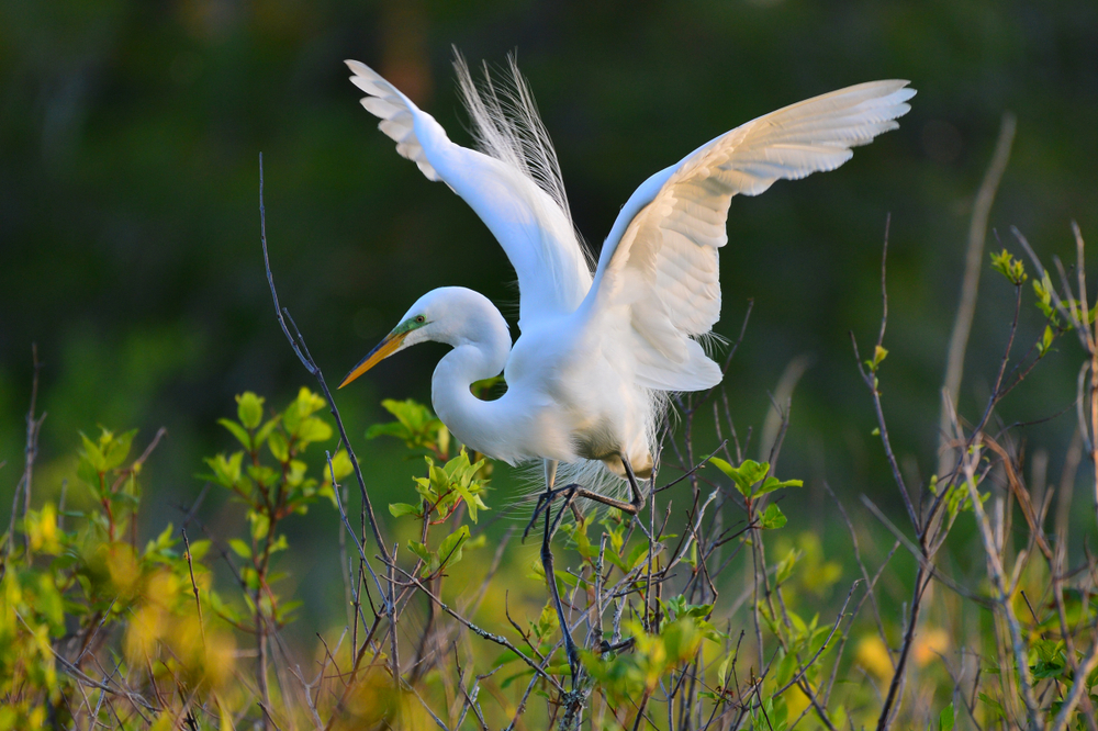 Great,Egret,In,St,Andrews,St,Park,,Panama,City,Beach,